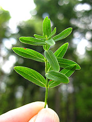 180px-StJohnswort-leaves.jpg